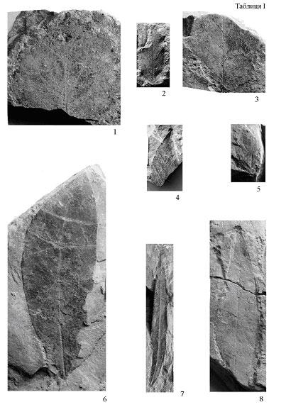 Фрагмент нижньої частини листка без основи і верхівки