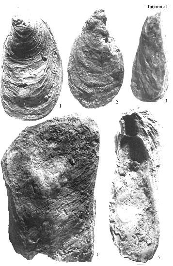 Фіг. 1-2. Crassostrea gryphoides (Schloth) gingensis (Schloth.): 1 - ліва стулка ззовні; 2 - права стулка ззовні. Оригінал № 16.</p><p>Фіг. 3. Crassostrea gryphoides (Schloth) angustata de Serr. Ліва стулка ззовні. Оригінал № 14.</p><p>Фіг. 4. Crassostrea gryphoides (Schloth) ponderosa de Serr. ? 0,8. Права стулка ззовні. Оригінал № 15.</p><p>Фіг. 5. Crassostrea gryphoides (Schloth). ? 0,8. Ліва стулка зсередини. Оригінал № 13.