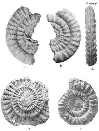 Echioceras raricostatum
