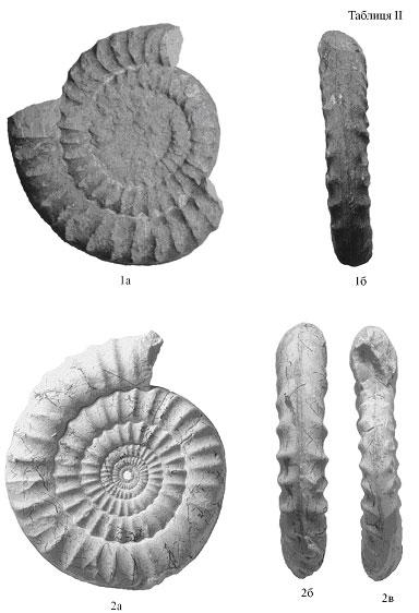 Arietites cf. romanicus Uhlig