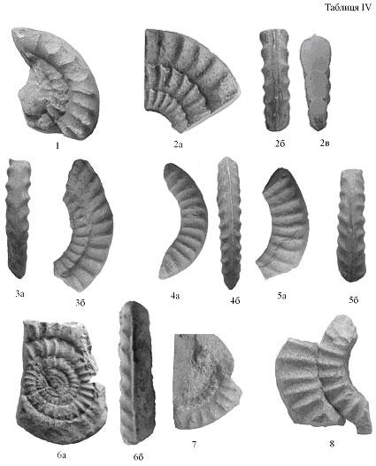 Echioceras rarecostatum Bayle