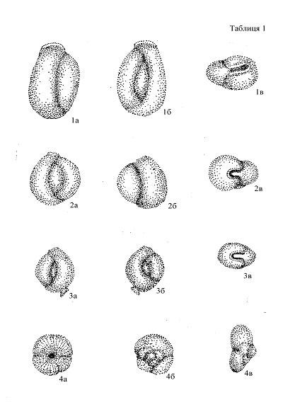 Triloculina tantilla caudata Konenkova subsp. nov