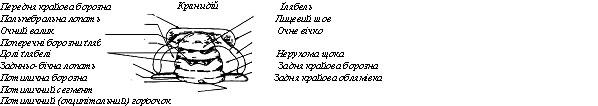 ћорфолог≥чн≥ елементи кранид≥ю трилоб≥т≥в
